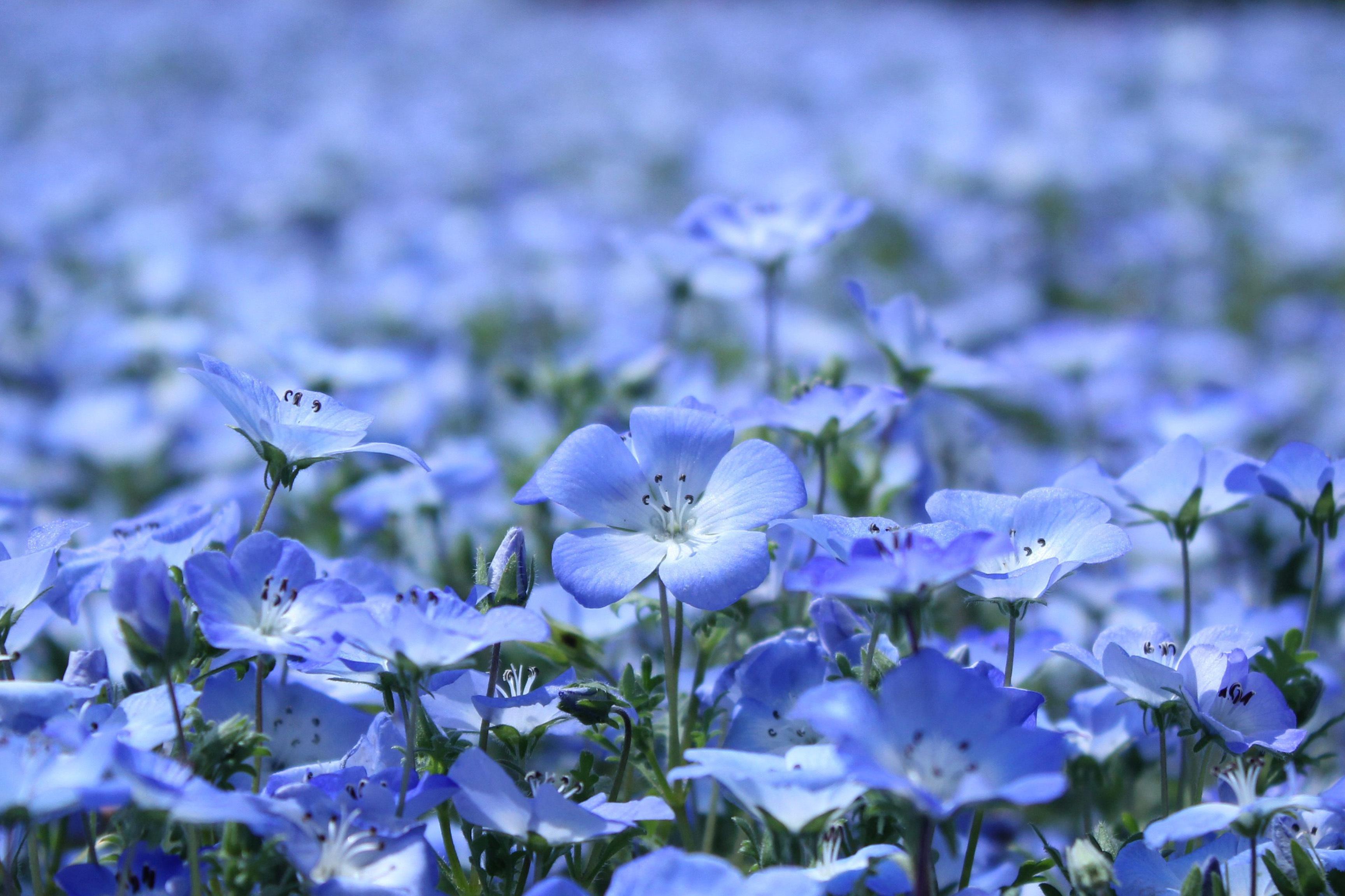 природа синие цветы nature blue flowers  № 1376442  скачать